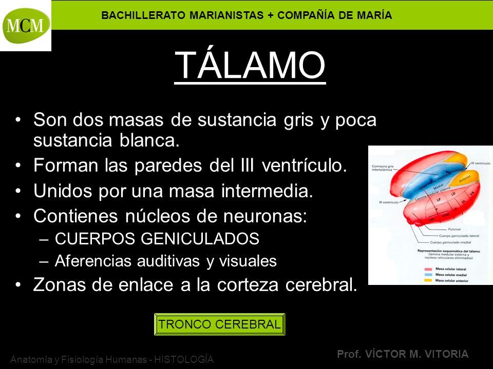 BACHILLERATO MARIANISTAS + COMPAÑÍA DE MARÍA Prof. VÍCTOR M. VITORIA Anatomía y Fisiología Humanas - HISTOLOGÍA TÁLAMO Son dos masas de sustancia gris