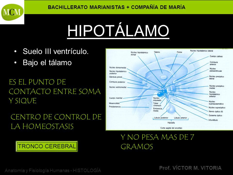 BACHILLERATO MARIANISTAS + COMPAÑÍA DE MARÍA Prof. VÍCTOR M. VITORIA Anatomía y Fisiología Humanas - HISTOLOGÍA HIPOTÁLAMO Suelo III ventrículo. Bajo