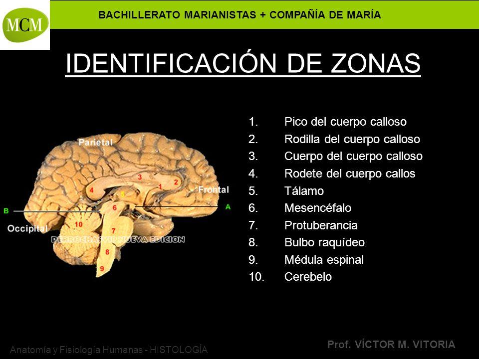 BACHILLERATO MARIANISTAS + COMPAÑÍA DE MARÍA Prof. VÍCTOR M. VITORIA Anatomía y Fisiología Humanas - HISTOLOGÍA IDENTIFICACIÓN DE ZONAS 1.Pico del cue