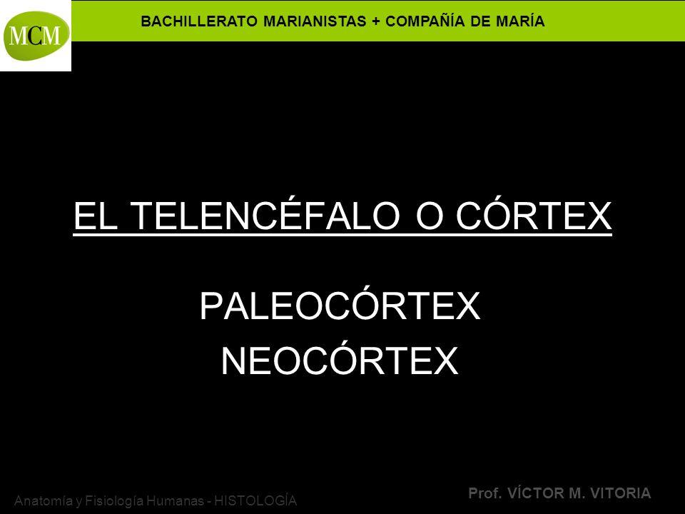 BACHILLERATO MARIANISTAS + COMPAÑÍA DE MARÍA Prof. VÍCTOR M. VITORIA Anatomía y Fisiología Humanas - HISTOLOGÍA EL TELENCÉFALO O CÓRTEX PALEOCÓRTEX NE