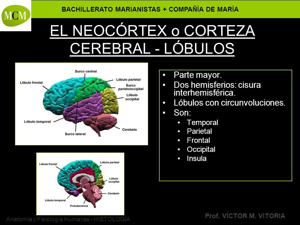 BACHILLERATO MARIANISTAS + COMPAÑÍA DE MARÍA Prof. VÍCTOR M. VITORIA Anatomía y Fisiología Humanas - HISTOLOGÍA EL NEOCÓRTEX o CORTEZA CEREBRAL - LÓBU