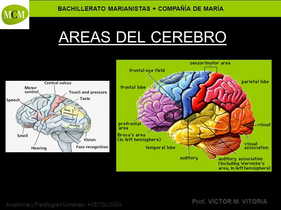 BACHILLERATO MARIANISTAS + COMPAÑÍA DE MARÍA Prof. VÍCTOR M. VITORIA Anatomía y Fisiología Humanas - HISTOLOGÍA AREAS DEL CEREBRO