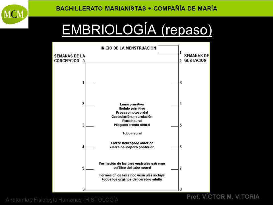 BACHILLERATO MARIANISTAS + COMPAÑÍA DE MARÍA Prof. VÍCTOR M. VITORIA Anatomía y Fisiología Humanas - HISTOLOGÍA EMBRIOLOGÍA (repaso)