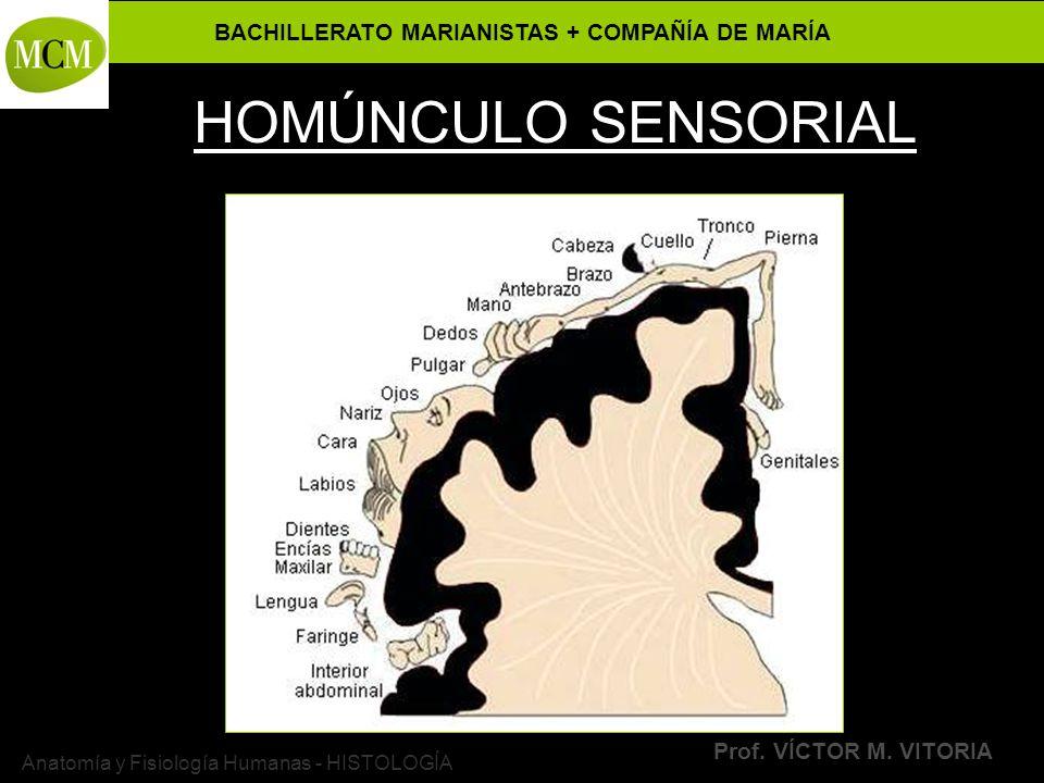 BACHILLERATO MARIANISTAS + COMPAÑÍA DE MARÍA Prof. VÍCTOR M. VITORIA Anatomía y Fisiología Humanas - HISTOLOGÍA HOMÚNCULO SENSORIAL