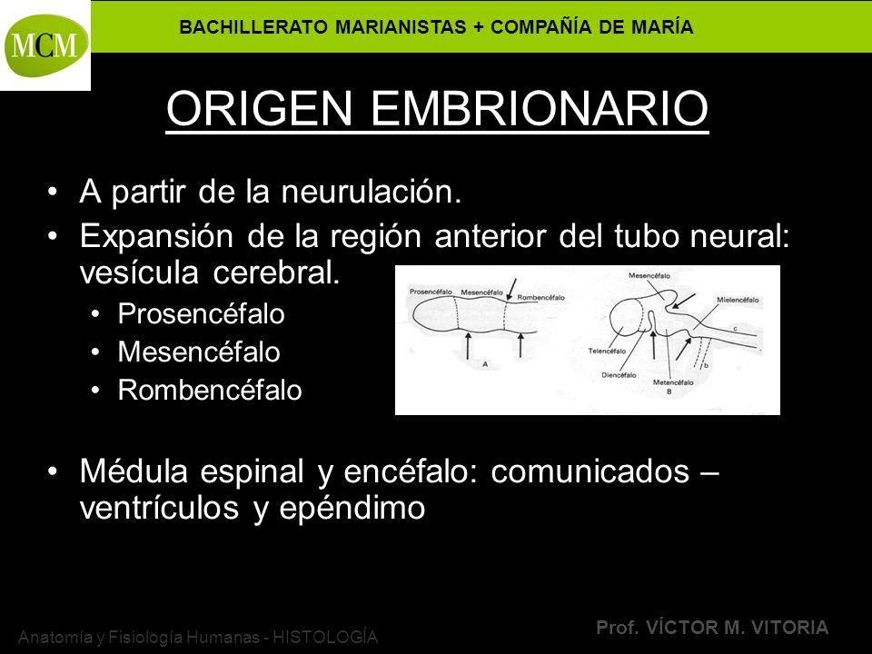 BACHILLERATO MARIANISTAS + COMPAÑÍA DE MARÍA Prof. VÍCTOR M. VITORIA Anatomía y Fisiología Humanas - HISTOLOGÍA ORIGEN EMBRIONARIO A partir de la neur