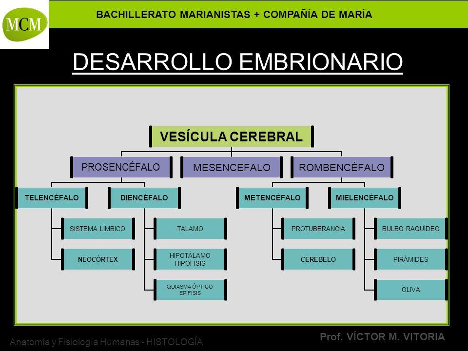 BACHILLERATO MARIANISTAS + COMPAÑÍA DE MARÍA Prof. VÍCTOR M. VITORIA Anatomía y Fisiología Humanas - HISTOLOGÍA DESARROLLO EMBRIONARIO VESÍCULA CEREBR