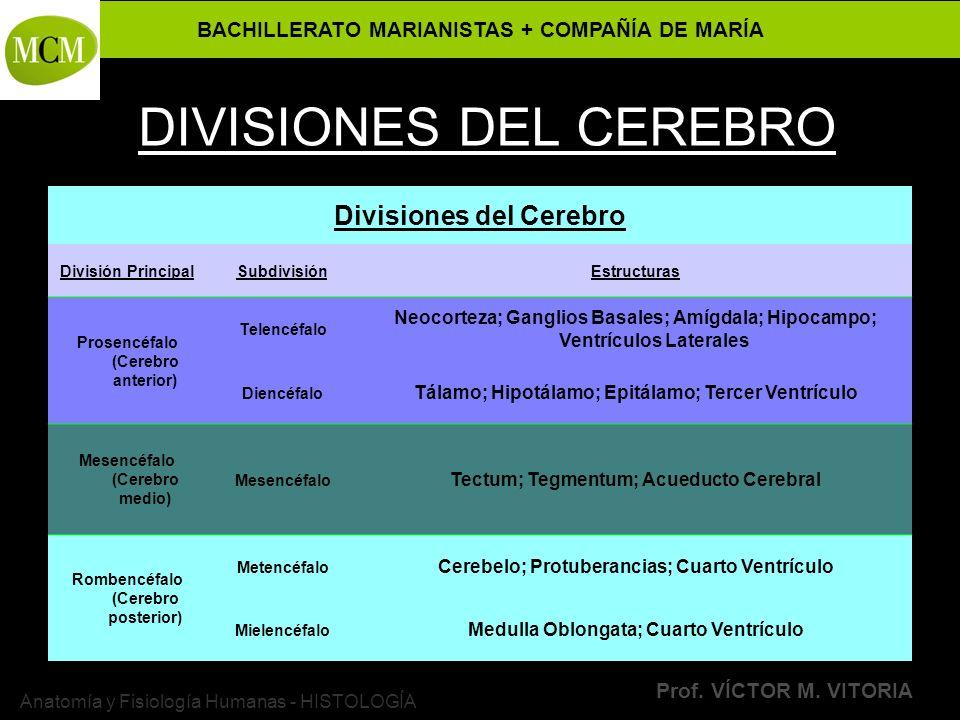 BACHILLERATO MARIANISTAS + COMPAÑÍA DE MARÍA Prof. VÍCTOR M. VITORIA Anatomía y Fisiología Humanas - HISTOLOGÍA DIVISIONES DEL CEREBRO Divisiones del