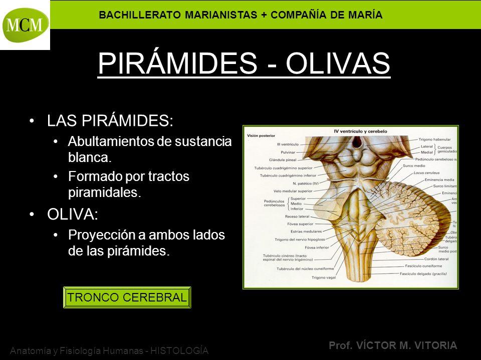 BACHILLERATO MARIANISTAS + COMPAÑÍA DE MARÍA Prof. VÍCTOR M. VITORIA Anatomía y Fisiología Humanas - HISTOLOGÍA PIRÁMIDES - OLIVAS LAS PIRÁMIDES: Abul