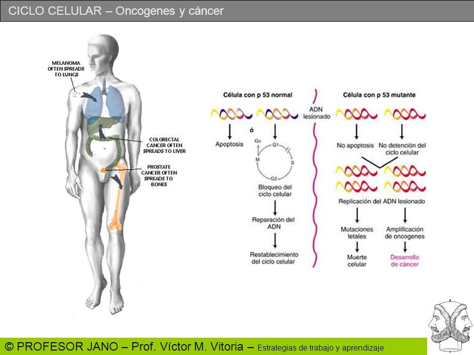 CICLO CELULAR – Oncogenes y cáncer © PROFESOR JANO – Prof. Víctor M. Vitoria – Estrategias de trabajo y aprendizaje