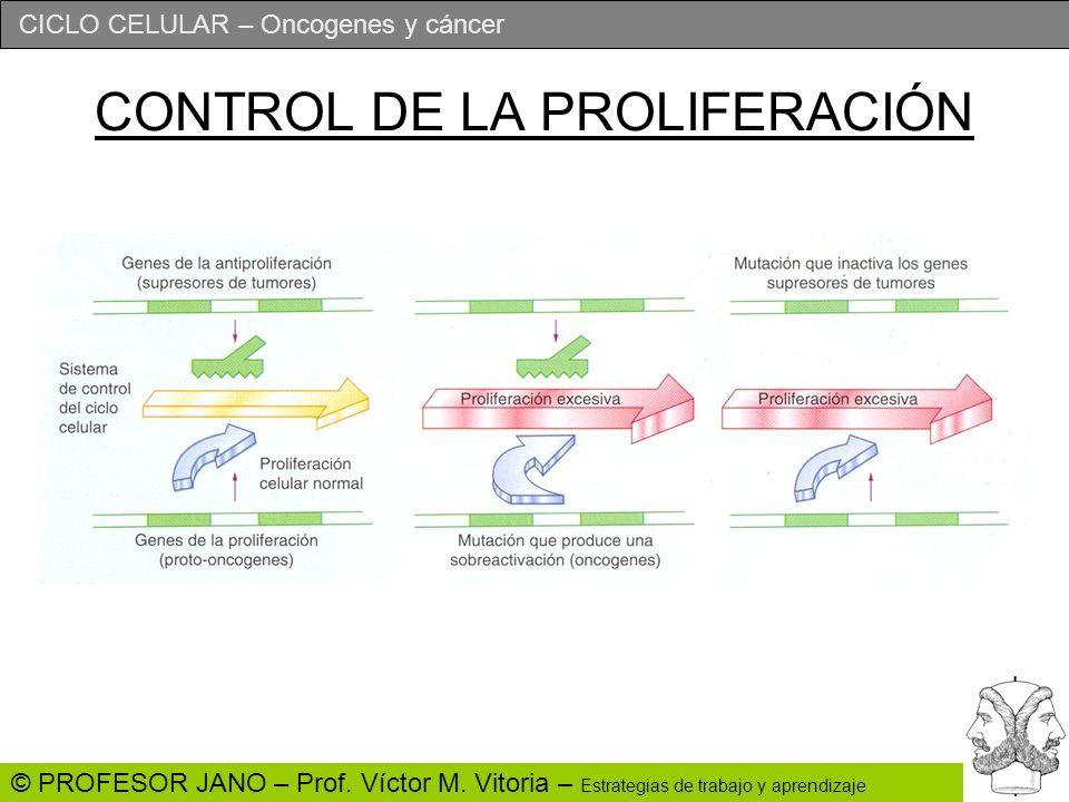 CICLO CELULAR – Oncogenes y cáncer © PROFESOR JANO – Prof. Víctor M. Vitoria – Estrategias de trabajo y aprendizaje CONTROL DE LA PROLIFERACIÓN