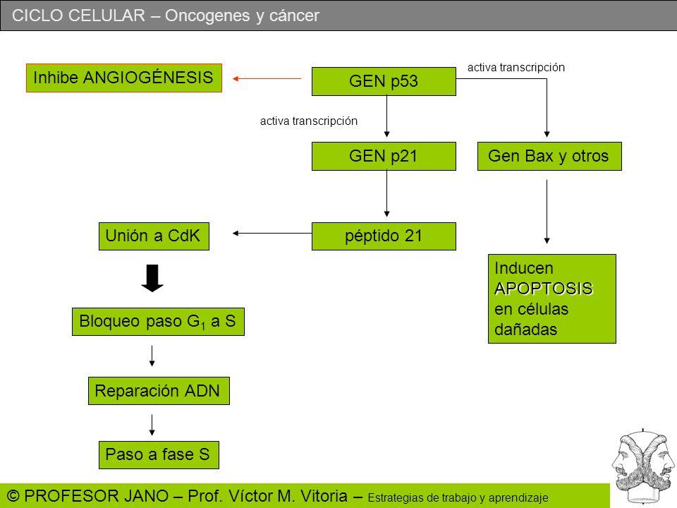 CICLO CELULAR – Oncogenes y cáncer © PROFESOR JANO – Prof. Víctor M. Vitoria – Estrategias de trabajo y aprendizaje GEN p53 GEN p21Gen Bax y otros APO