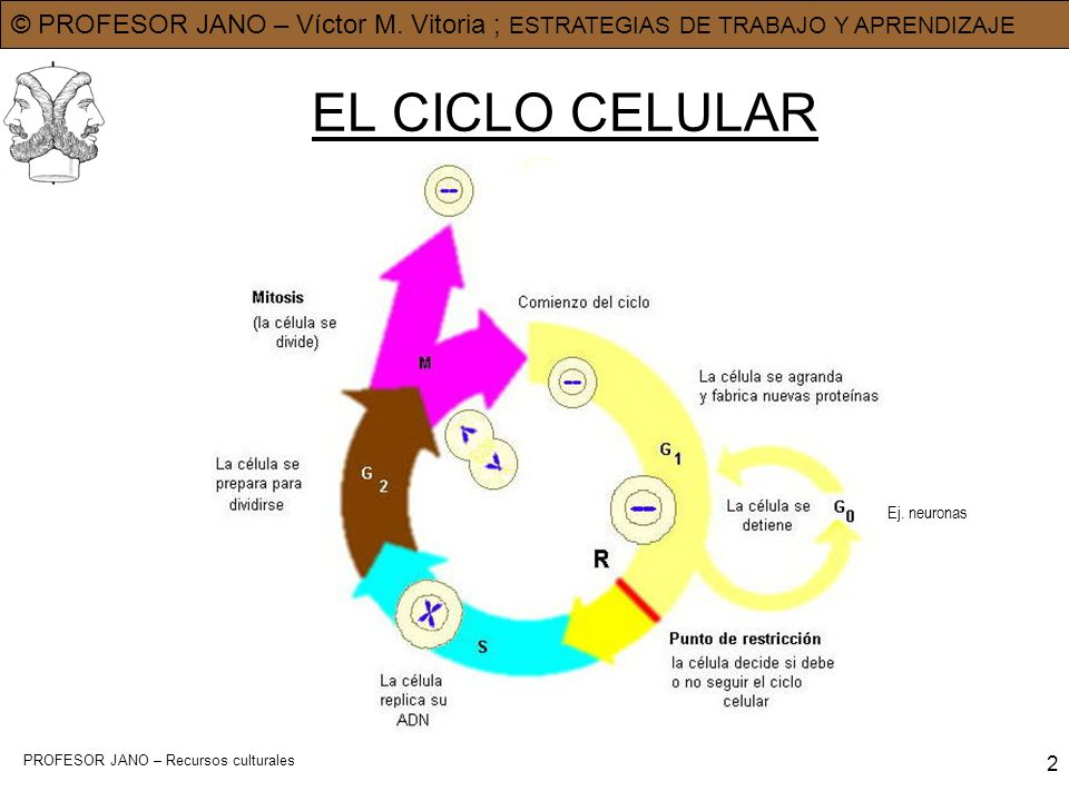 © PROFESOR JANO – Víctor M. Vitoria ; ESTRATEGIAS DE TRABAJO Y APRENDIZAJE PROFESOR JANO – Recursos culturales 2 EL CICLO CELULAR Ej. neuronas