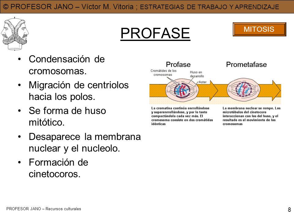 © PROFESOR JANO – Víctor M. Vitoria ; ESTRATEGIAS DE TRABAJO Y APRENDIZAJE PROFESOR JANO – Recursos culturales 8 PROFASE Condensación de cromosomas. M