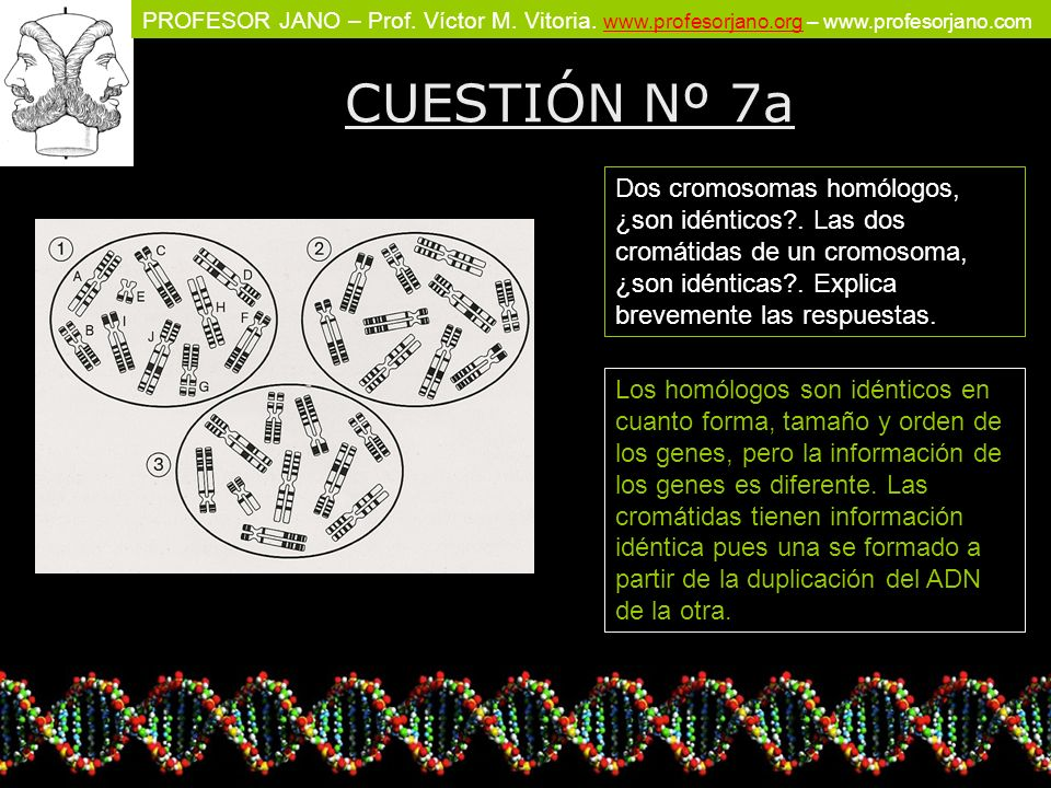 PROFESOR JANO – Prof. Víctor M. Vitoria. www.profesorjano.org – www.profesorjano.com www.profesorjano.org CUESTIÓN Nº 7a Dos cromosomas homólogos, ¿so