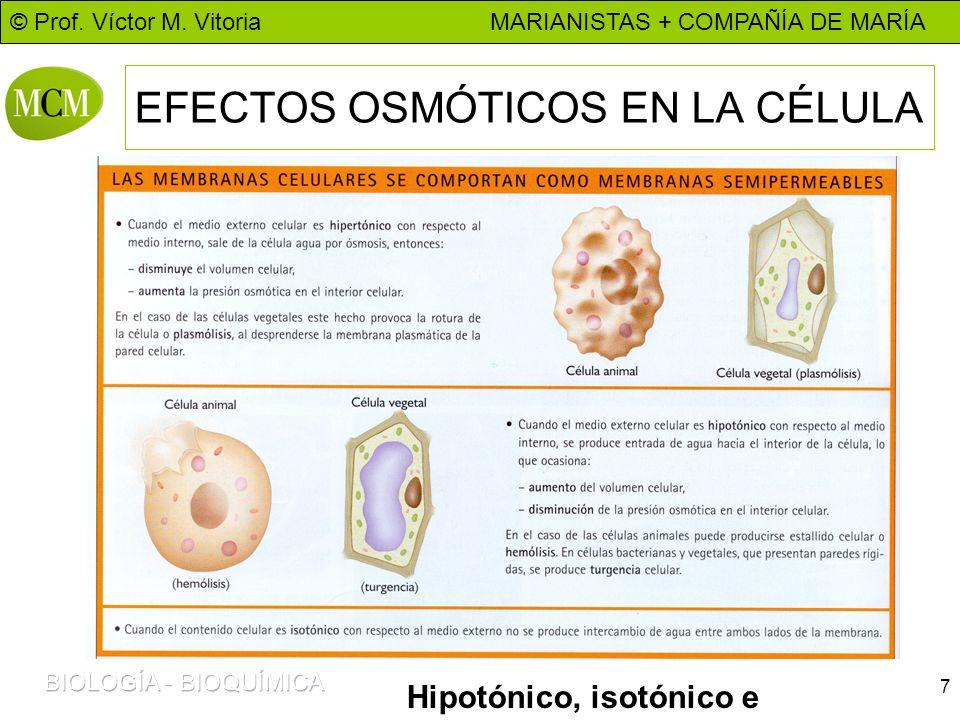 © Prof. Víctor M. Vitoria MARIANISTAS + COMPAÑÍA DE MARÍA 7 EFECTOS OSMÓTICOS EN LA CÉLULA Hipotónico, isotónico e hipertónico.