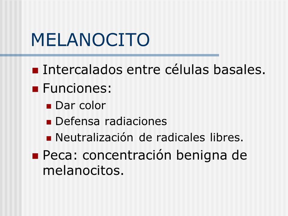 MELANOCITO Intercalados entre células basales. Funciones: Dar color Defensa radiaciones Neutralización de radicales libres. Peca: concentración benign