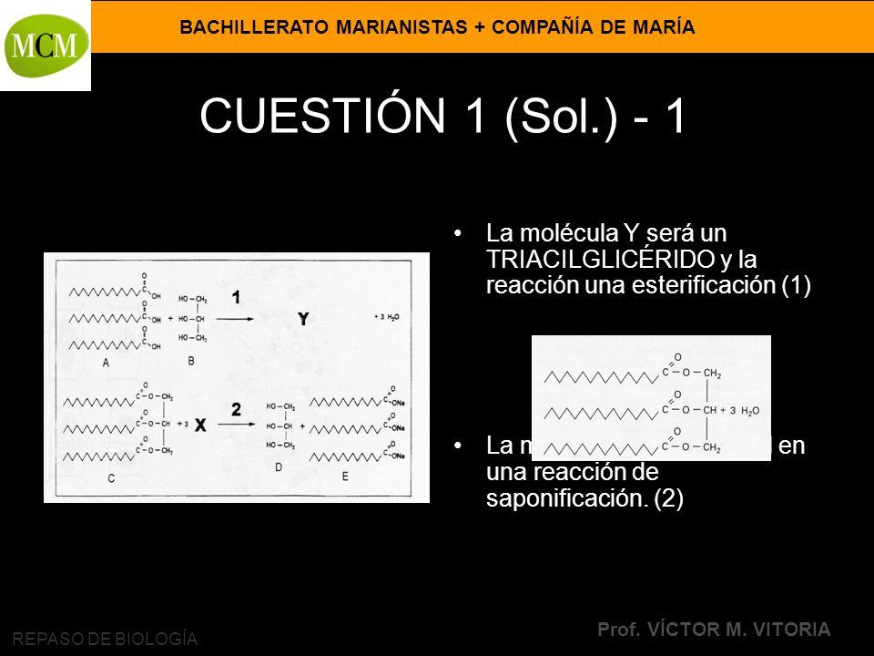 BACHILLERATO MARIANISTAS + COMPAÑÍA DE MARÍA Prof. VÍCTOR M. VITORIA REPASO DE BIOLOGÍA CUESTIÓN 1 (Sol.) - 1 La molécula Y será un TRIACILGLICÉRIDO y