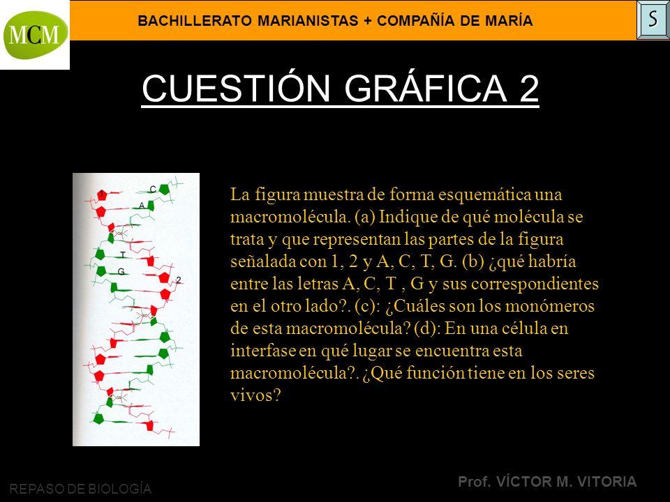 BACHILLERATO MARIANISTAS + COMPAÑÍA DE MARÍA Prof. VÍCTOR M. VITORIA REPASO DE BIOLOGÍA CUESTIÓN GRÁFICA 2 La figura muestra de forma esquemática una