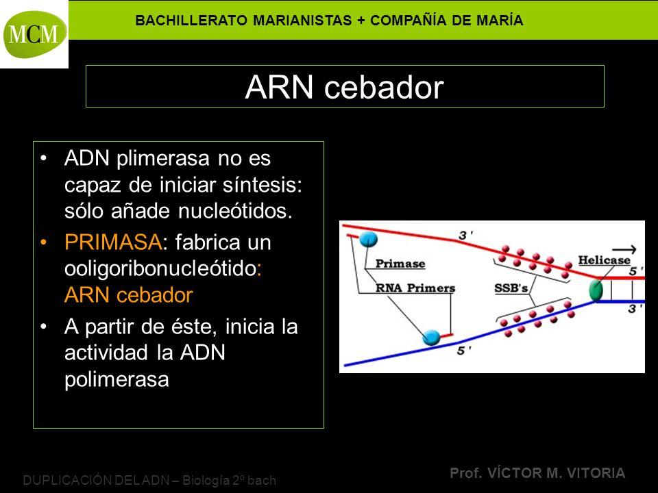 BACHILLERATO MARIANISTAS + COMPAÑÍA DE MARÍA Prof. VÍCTOR M. VITORIA DUPLICACIÓN DEL ADN – Biología 2º bach ARN cebador ADN plimerasa no es capaz de i