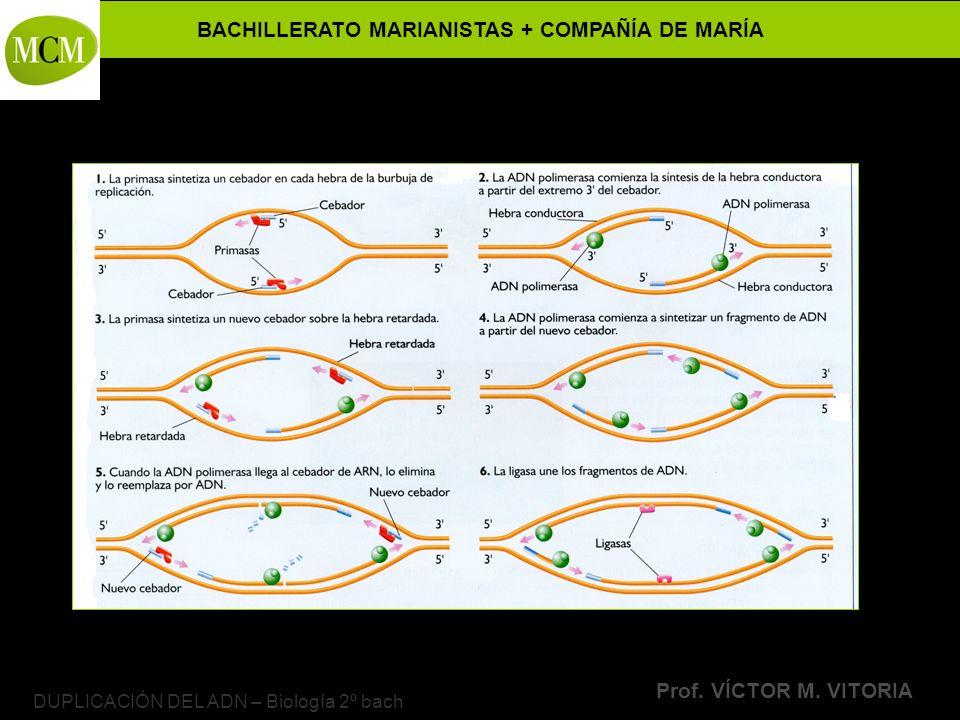 BACHILLERATO MARIANISTAS + COMPAÑÍA DE MARÍA Prof. VÍCTOR M. VITORIA DUPLICACIÓN DEL ADN – Biología 2º bach