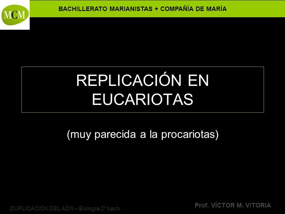 BACHILLERATO MARIANISTAS + COMPAÑÍA DE MARÍA Prof. VÍCTOR M. VITORIA DUPLICACIÓN DEL ADN – Biología 2º bach REPLICACIÓN EN EUCARIOTAS (muy parecida a