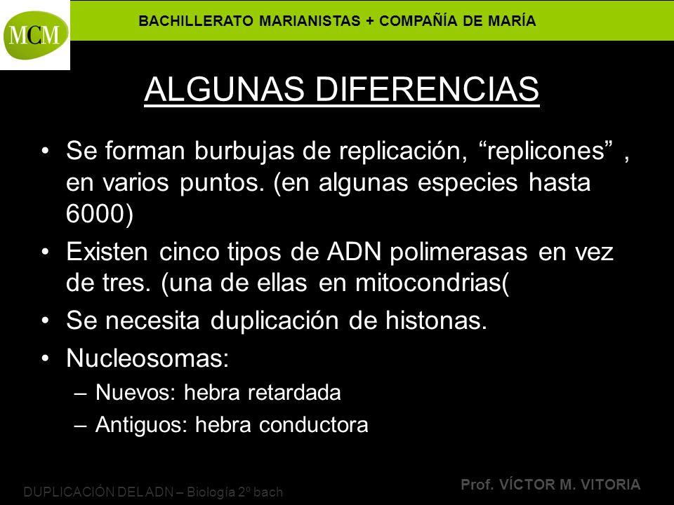 BACHILLERATO MARIANISTAS + COMPAÑÍA DE MARÍA Prof. VÍCTOR M. VITORIA DUPLICACIÓN DEL ADN – Biología 2º bach ALGUNAS DIFERENCIAS Se forman burbujas de
