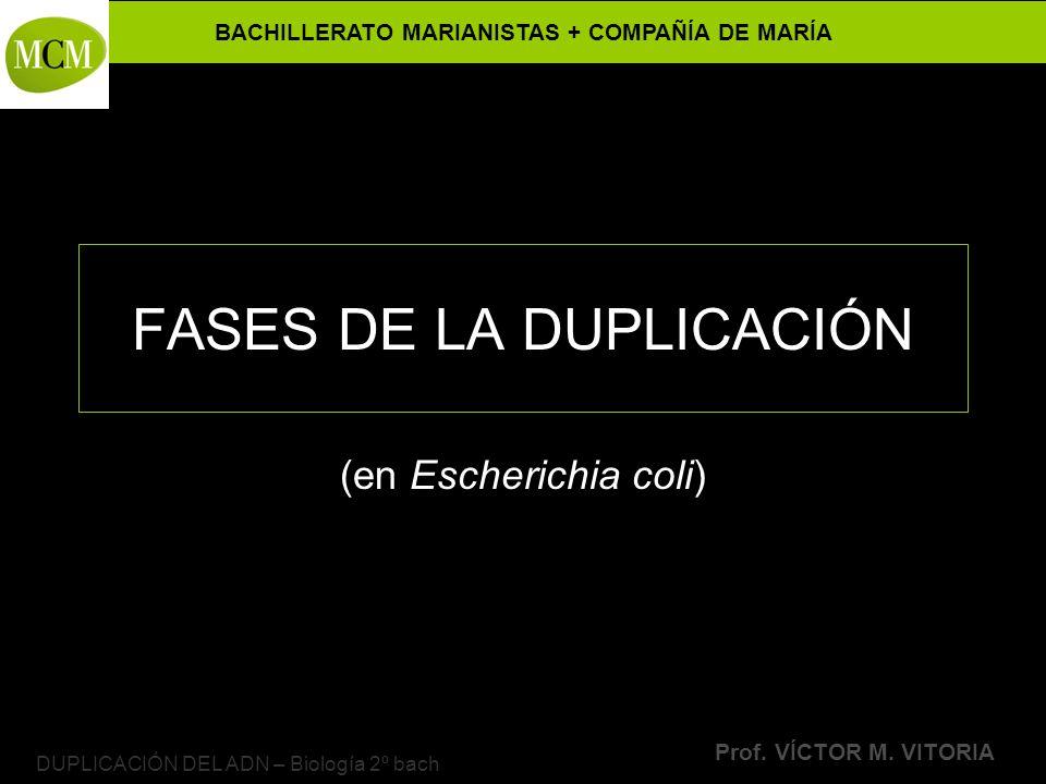 BACHILLERATO MARIANISTAS + COMPAÑÍA DE MARÍA Prof. VÍCTOR M. VITORIA DUPLICACIÓN DEL ADN – Biología 2º bach FASES DE LA DUPLICACIÓN (en Escherichia co
