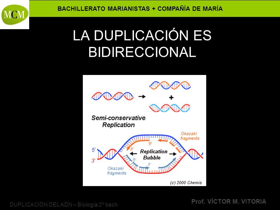BACHILLERATO MARIANISTAS + COMPAÑÍA DE MARÍA Prof. VÍCTOR M. VITORIA DUPLICACIÓN DEL ADN – Biología 2º bach LA DUPLICACIÓN ES BIDIRECCIONAL