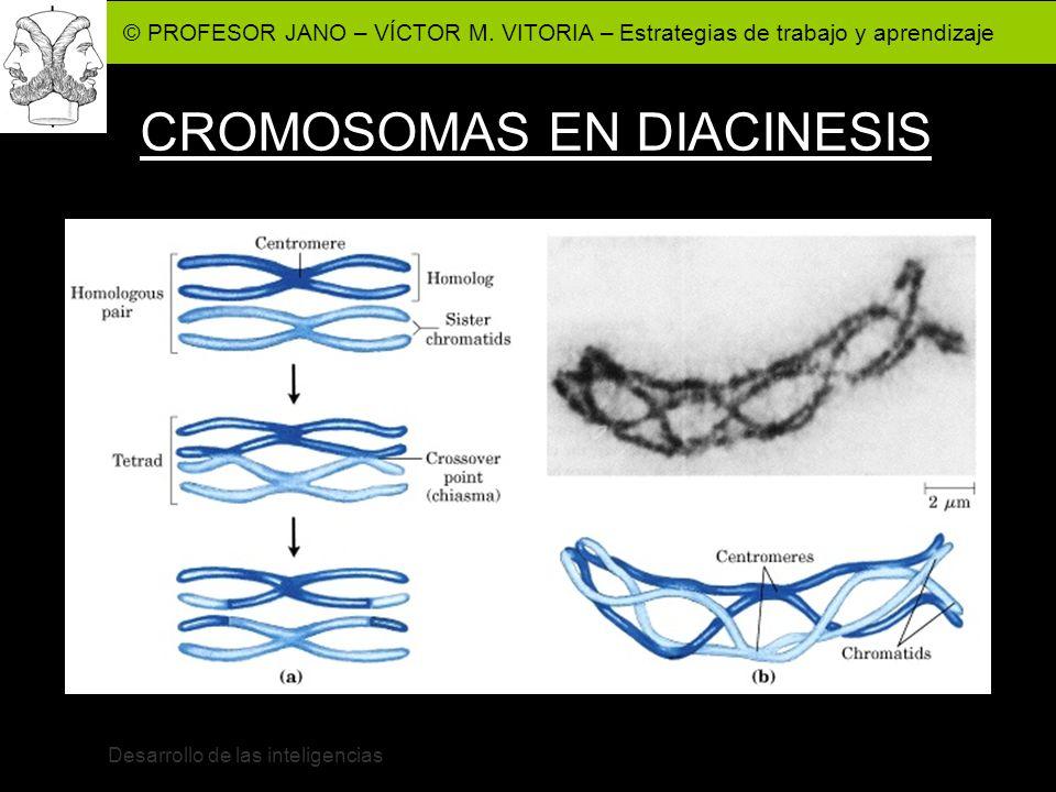 © PROFESOR JANO – VÍCTOR M. VITORIA – Estrategias de trabajo y aprendizaje Desarrollo de las inteligencias CROMOSOMAS EN DIACINESIS