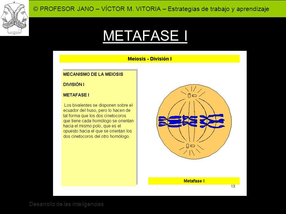 © PROFESOR JANO – VÍCTOR M. VITORIA – Estrategias de trabajo y aprendizaje Desarrollo de las inteligencias METAFASE I