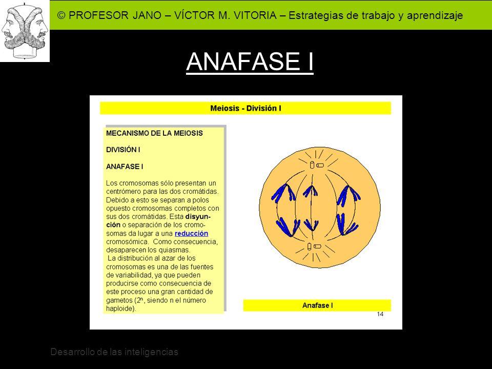 © PROFESOR JANO – VÍCTOR M. VITORIA – Estrategias de trabajo y aprendizaje Desarrollo de las inteligencias ANAFASE I