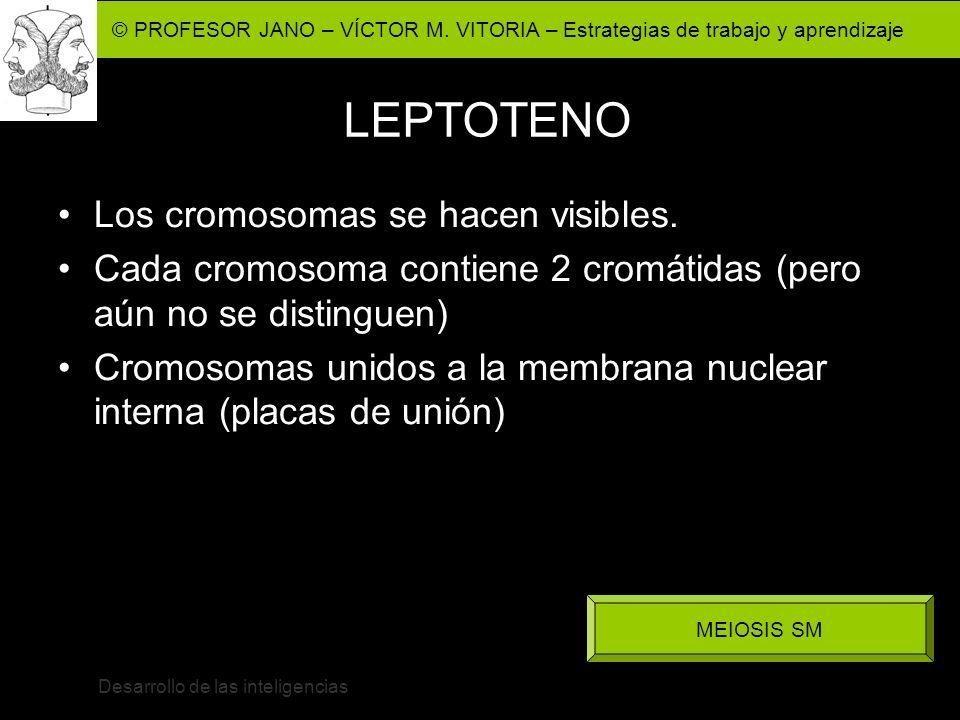 © PROFESOR JANO – VÍCTOR M. VITORIA – Estrategias de trabajo y aprendizaje Desarrollo de las inteligencias LEPTOTENO Los cromosomas se hacen visibles.