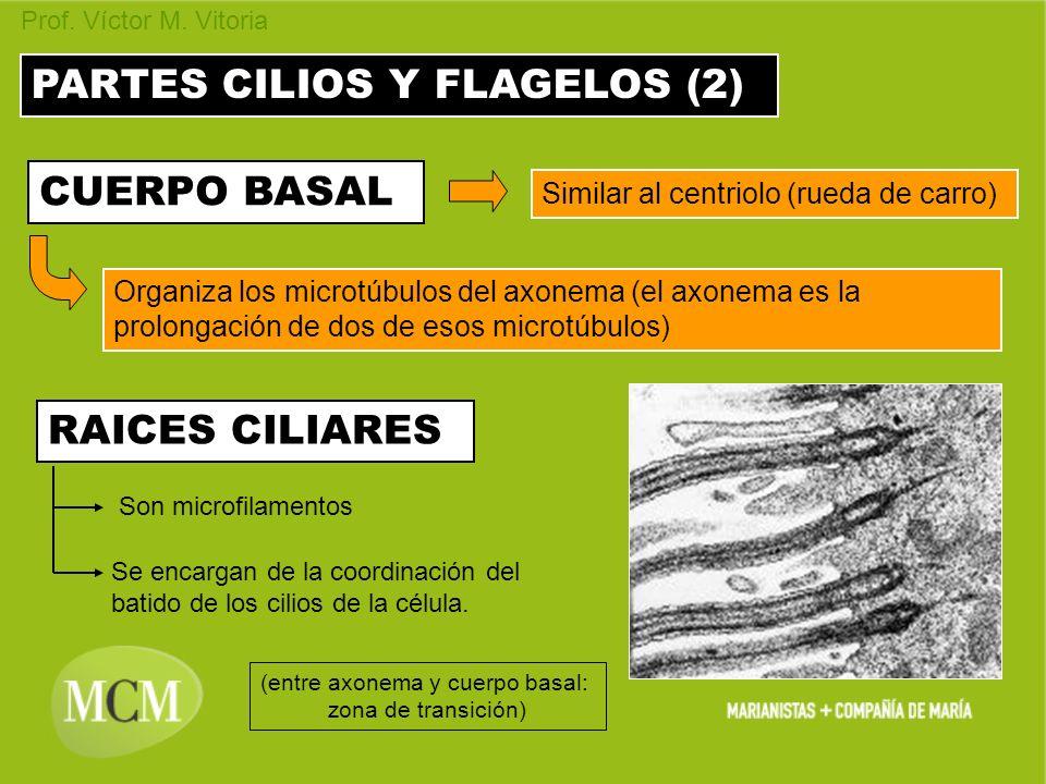 PARTES CILIOS Y FLAGELOS (2) CUERPO BASAL Similar al centriolo (rueda de carro) Organiza los microtúbulos del axonema (el axonema es la prolongación d