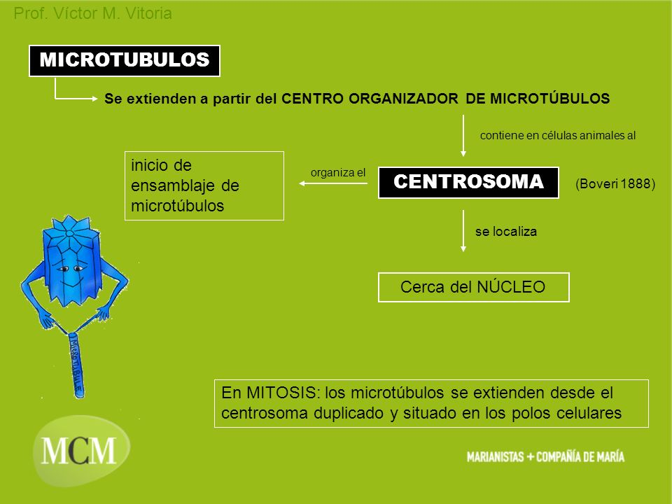 Prof. Víctor M. Vitoria CENTROSOMA MICROTUBULOS Se extienden a partir del CENTRO ORGANIZADOR DE MICROTÚBULOS (Boveri 1888) Cerca del NÚCLEO se localiz