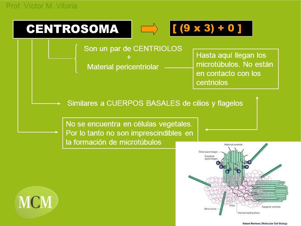 Prof. Víctor M. Vitoria CENTROSOMA [ (9 x 3) + 0 ] Son un par de CENTRIOLOS Material pericentriolar + Hasta aquí llegan los microtúbulos. No están en