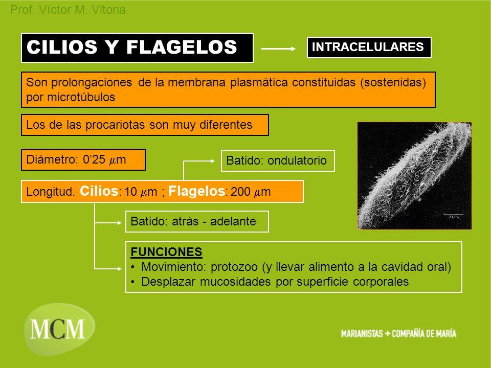 Prof. Víctor M. Vitoria CILIOS Y FLAGELOS INTRACELULARES Son prolongaciones de la membrana plasmática constituidas (sostenidas) por microtúbulos Los d