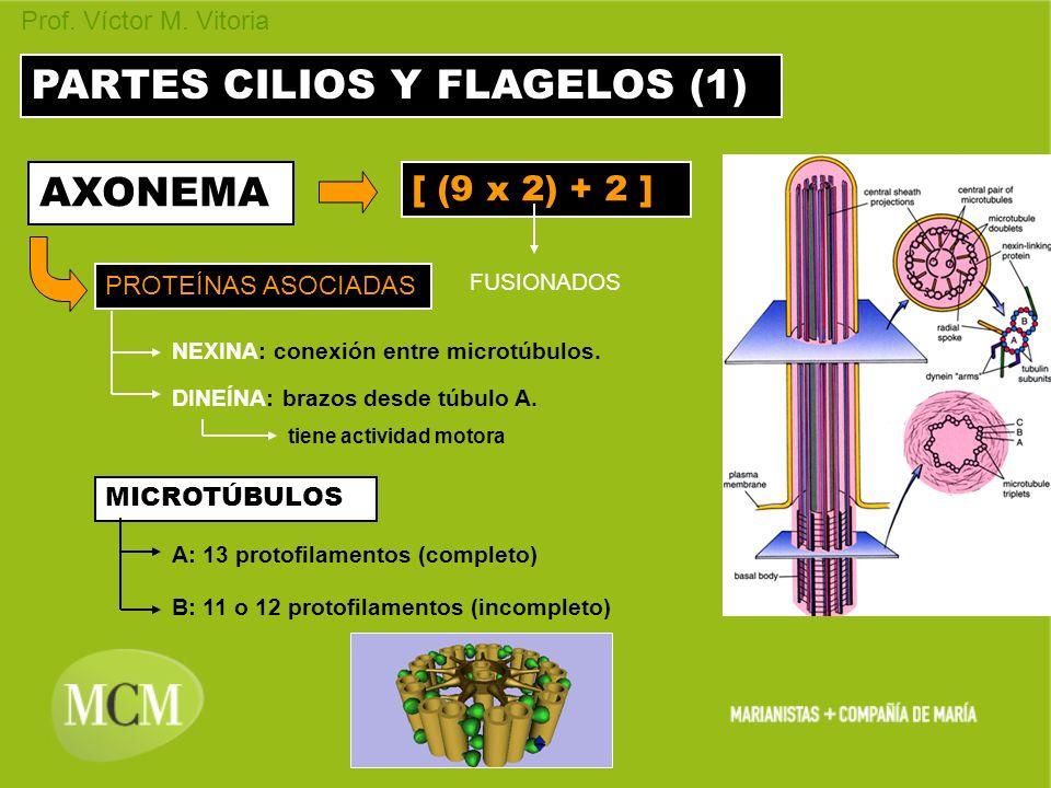 Prof. Víctor M. Vitoria PARTES CILIOS Y FLAGELOS (1) AXONEMA [ (9 x 2) + 2 ] FUSIONADOS PROTEÍNAS ASOCIADAS MICROTÚBULOS A: 13 protofilamentos (comple
