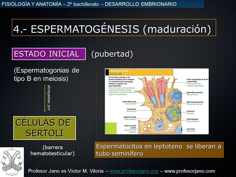 Profesor Jano es Víctor M. Vitoria – www.profesorjano.org – www.profesorjano.com www.profesorjano.org FISIOLOGÍA Y ANATOMÍA – 2º bachillerato – DESARR