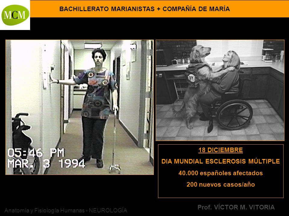 BACHILLERATO MARIANISTAS + COMPAÑÍA DE MARÍA Prof. VÍCTOR M. VITORIA Anatomía y Fisiología Humanas - NEUROLOGÍA 18 DICIEMBRE DIA MUNDIAL ESCLEROSIS MÚ