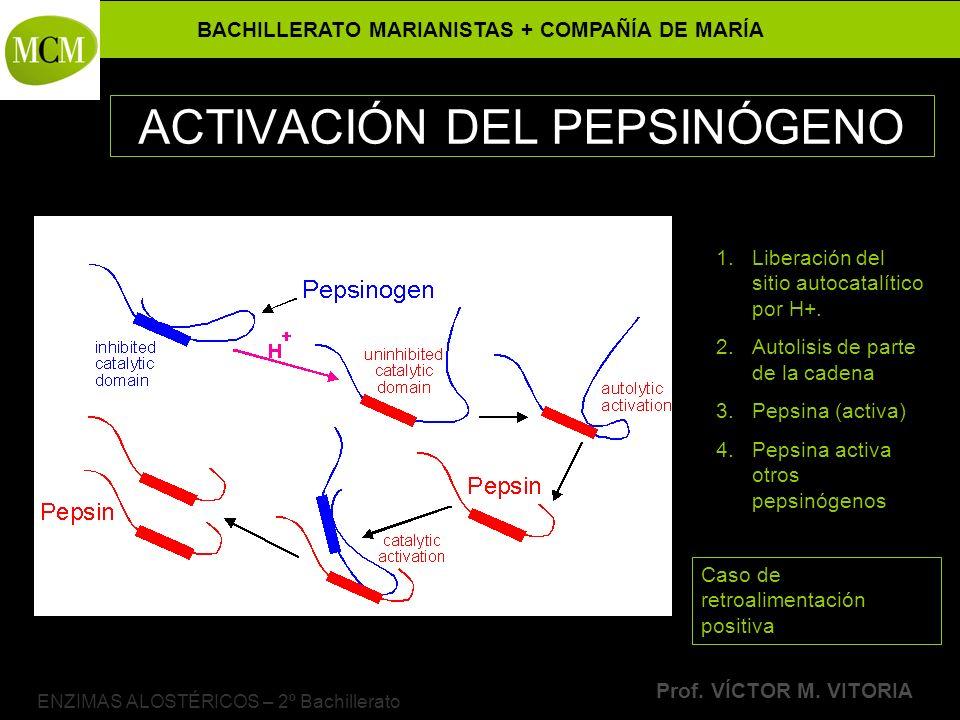 BACHILLERATO MARIANISTAS + COMPAÑÍA DE MARÍA Prof. VÍCTOR M. VITORIA ENZIMAS ALOSTÉRICOS – 2º Bachillerato ACTIVACIÓN DEL PEPSINÓGENO 1.Liberación del