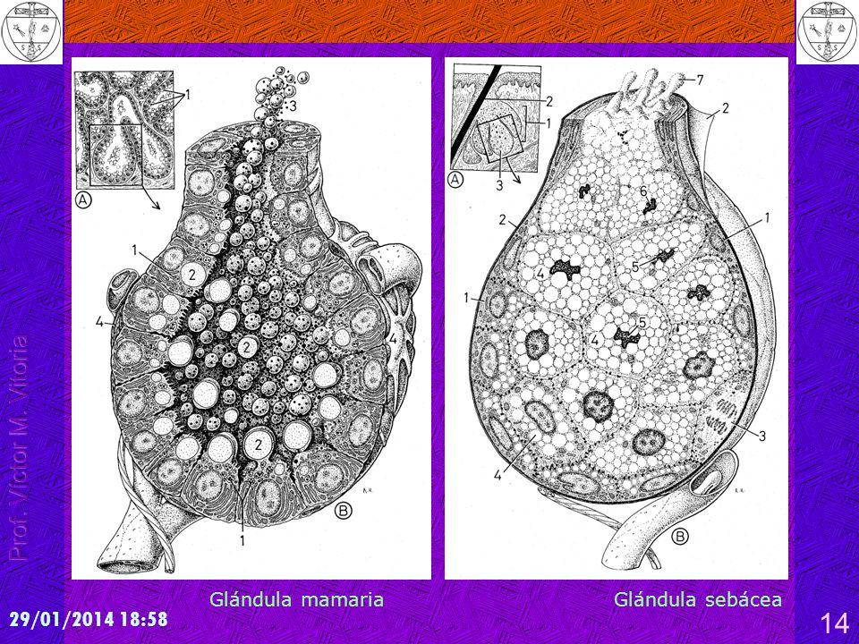 29/01/2014 19:00 14 Glándula mamaria Glándula sebácea