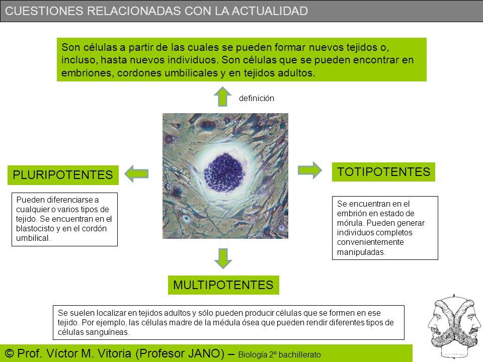 CUESTIONES RELACIONADAS CON LA ACTUALIDAD © Prof. Víctor M. Vitoria (Profesor JANO) – Biología 2º bachillerato Son células a partir de las cuales se p
