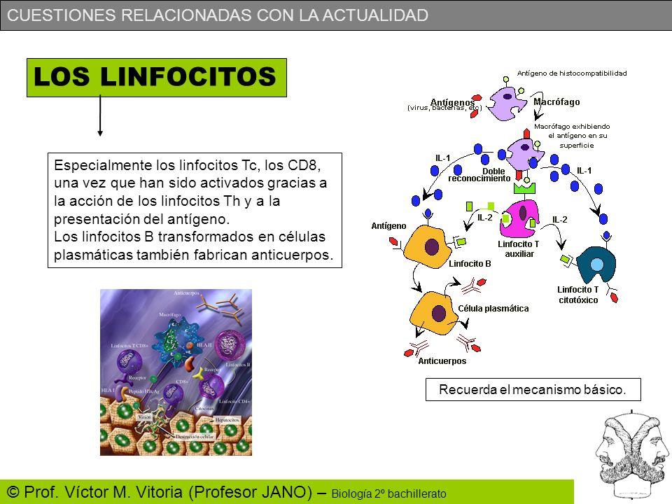 CUESTIONES RELACIONADAS CON LA ACTUALIDAD © Prof. Víctor M. Vitoria (Profesor JANO) – Biología 2º bachillerato LOS LINFOCITOS Especialmente los linfoc