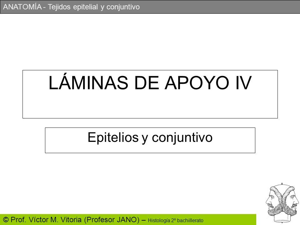 ANATOMÍA - Tejidos epitelial y conjuntivo © Prof. Víctor M. Vitoria (Profesor JANO) – Histología 2º bachillerato LÁMINAS DE APOYO IV Epitelios y conju