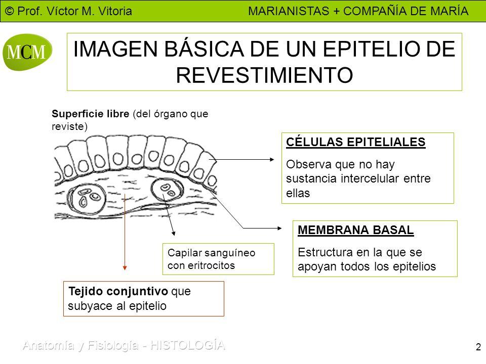 © Prof. Víctor M. Vitoria MARIANISTAS + COMPAÑÍA DE MARÍA 2 IMAGEN BÁSICA DE UN EPITELIO DE REVESTIMIENTO CÉLULAS EPITELIALES Observa que no hay susta