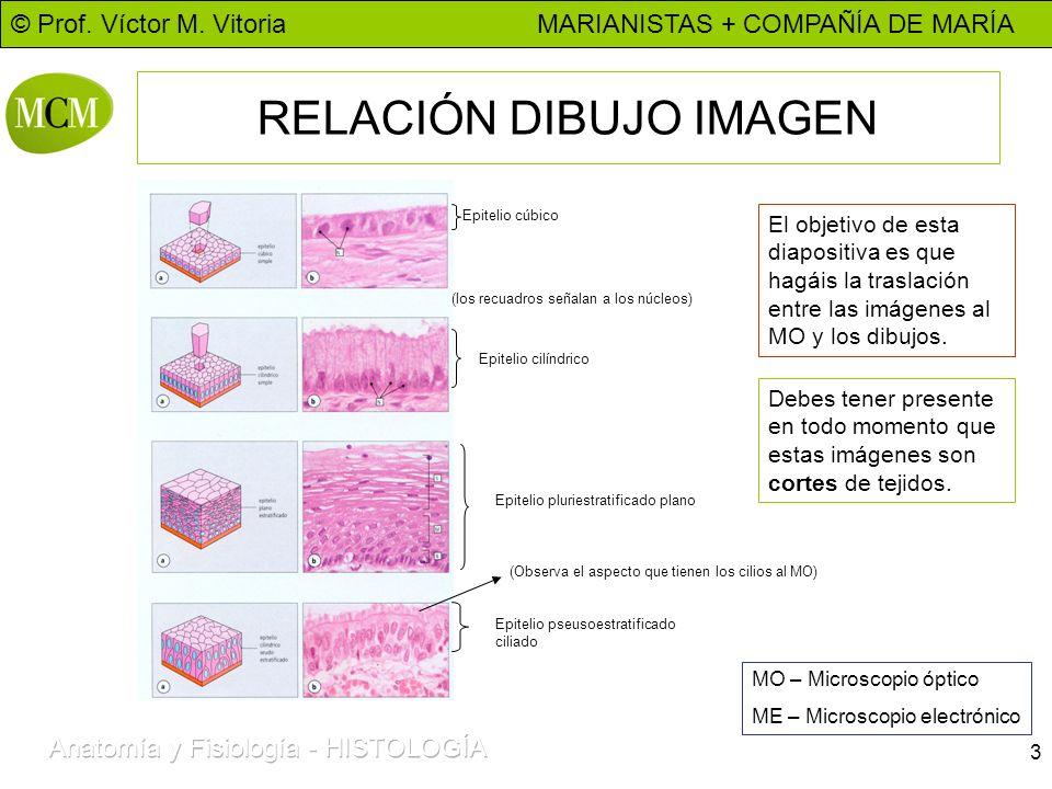 © Prof. Víctor M. Vitoria MARIANISTAS + COMPAÑÍA DE MARÍA 3 RELACIÓN DIBUJO IMAGEN Epitelio cúbico Epitelio cilíndrico (los recuadros señalan a los nú