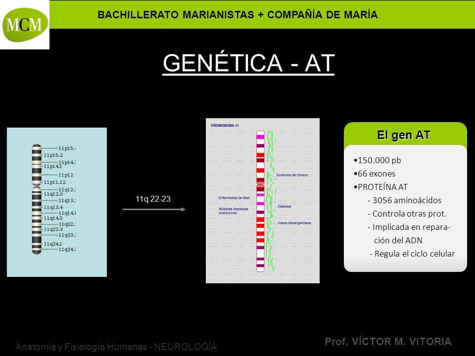 BACHILLERATO MARIANISTAS + COMPAÑÍA DE MARÍA Prof. VÍCTOR M. VITORIA Anatomía y Fisiología Humanas - NEUROLOGÍA GENÉTICA - AT 11q 22-23 150.000 pb 66