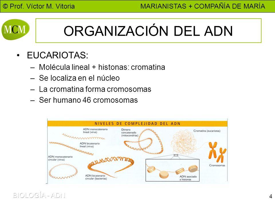 © Prof. Víctor M. Vitoria MARIANISTAS + COMPAÑÍA DE MARÍA 4 ORGANIZACIÓN DEL ADN EUCARIOTAS: –Molécula lineal + histonas: cromatina –Se localiza en el