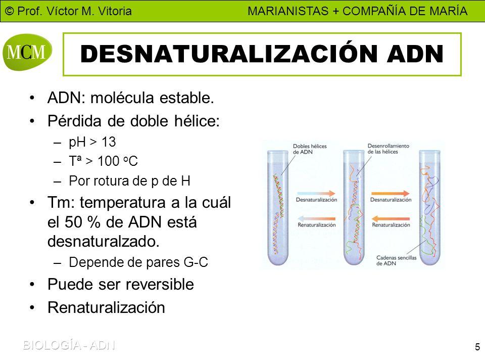 © Prof. Víctor M. Vitoria MARIANISTAS + COMPAÑÍA DE MARÍA 5 DESNATURALIZACIÓN ADN ADN: molécula estable. Pérdida de doble hélice: –pH > 13 –Tª > 100 o