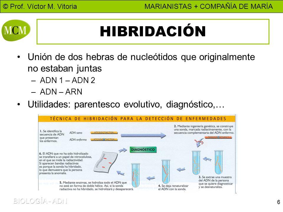 © Prof. Víctor M. Vitoria MARIANISTAS + COMPAÑÍA DE MARÍA 6 HIBRIDACIÓN Unión de dos hebras de nucleótidos que originalmente no estaban juntas –ADN 1